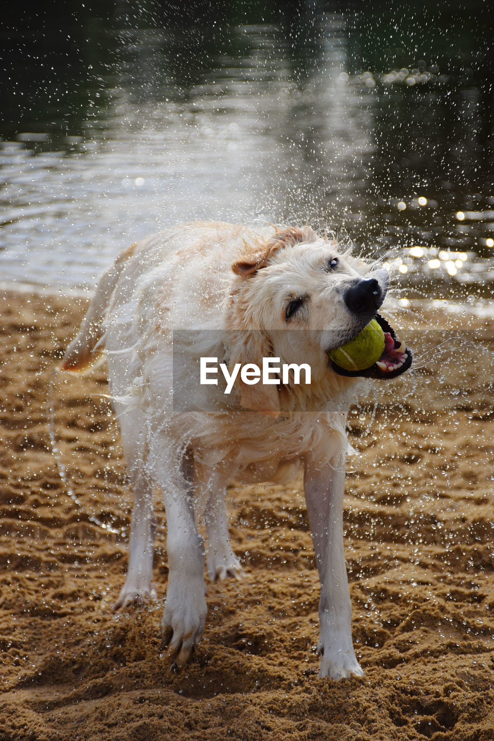 Dog running on wet land