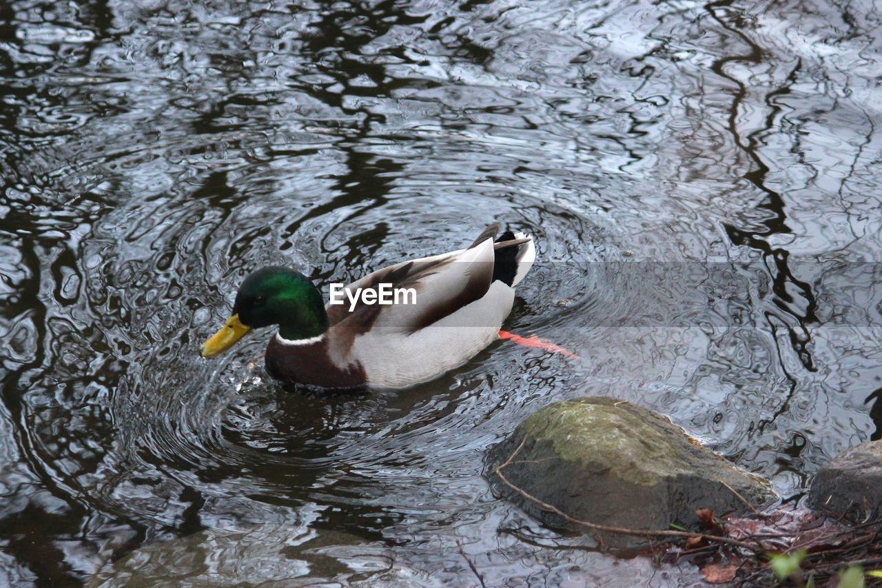 animal themes, animals in the wild, one animal, duck, water, lake, swimming, waterfront, animal wildlife, bird, high angle view, day, no people, mandarin duck, water bird, nature, outdoors