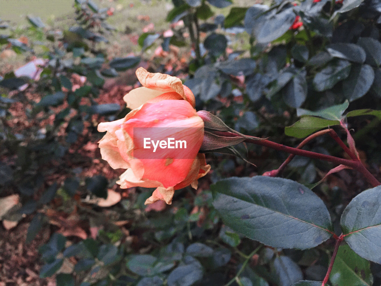 flower, petal, nature, growth, fragility, plant, beauty in nature, flower head, leaf, rose - flower, no people, blooming, outdoors, freshness, day, close-up