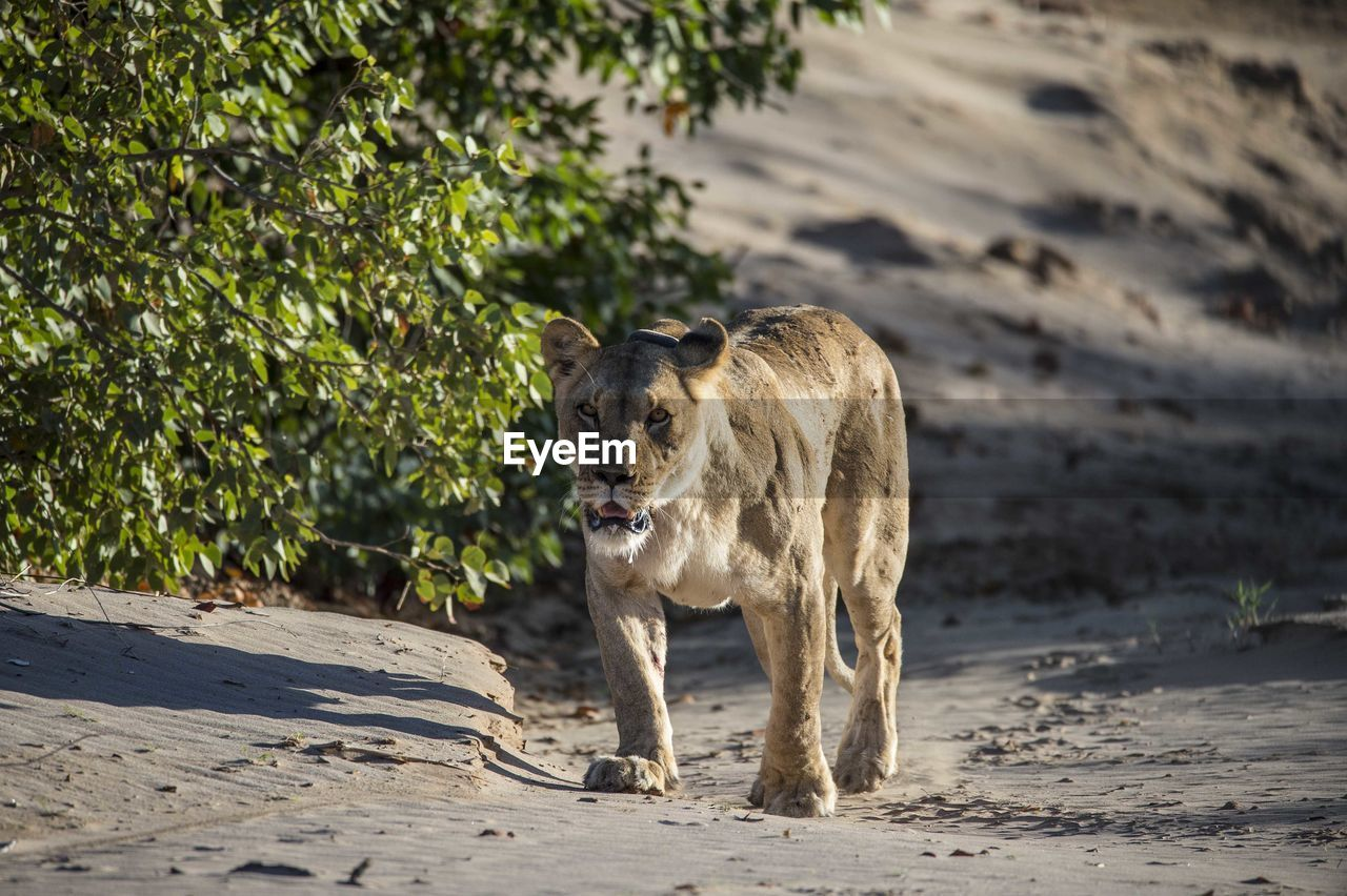 one animal, animal themes, animal, mammal, vertebrate, land, pets, nature, domestic animals, focus on foreground, day, domestic, walking, no people, sunlight, feline, carnivora, animal wildlife, sand, animals in the wild, outdoors