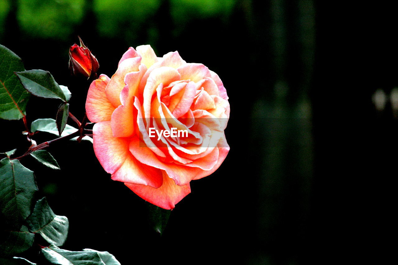 flower, petal, beauty in nature, fragility, nature, flower head, growth, blooming, plant, freshness, rose - flower, no people, focus on foreground, close-up, outdoors, day