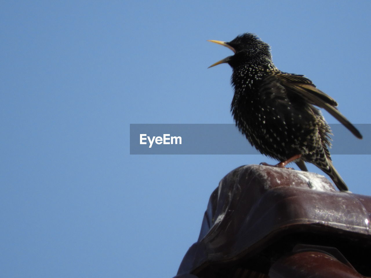 animal, bird, animal themes, animals in the wild, vertebrate, animal wildlife, one animal, low angle view, sky, clear sky, perching, no people, copy space, day, nature, blue, starling, outdoors, sunlight, close-up