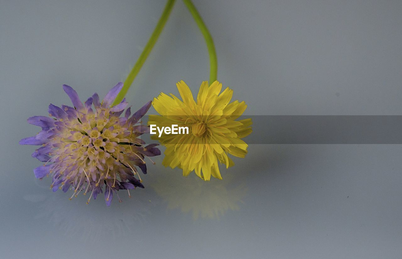 flower, petal, fragility, freshness, yellow, beauty in nature, nature, flower head, growth, studio shot, plant, no people, close-up, white background, blooming, outdoors, day
