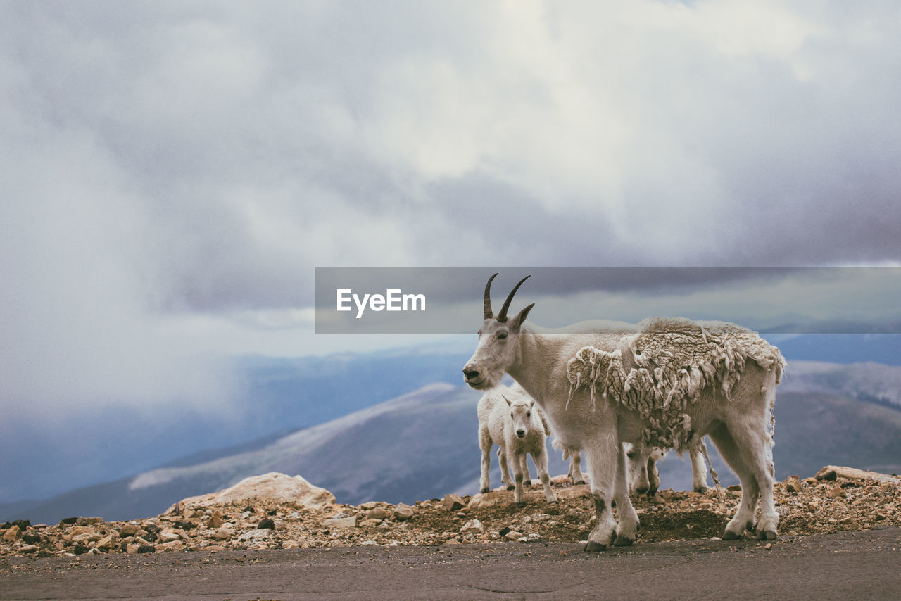 An adult mountain goat stands along the mountain road with it's offspring