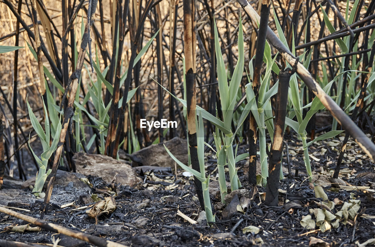 Close-up of burnt plants on field