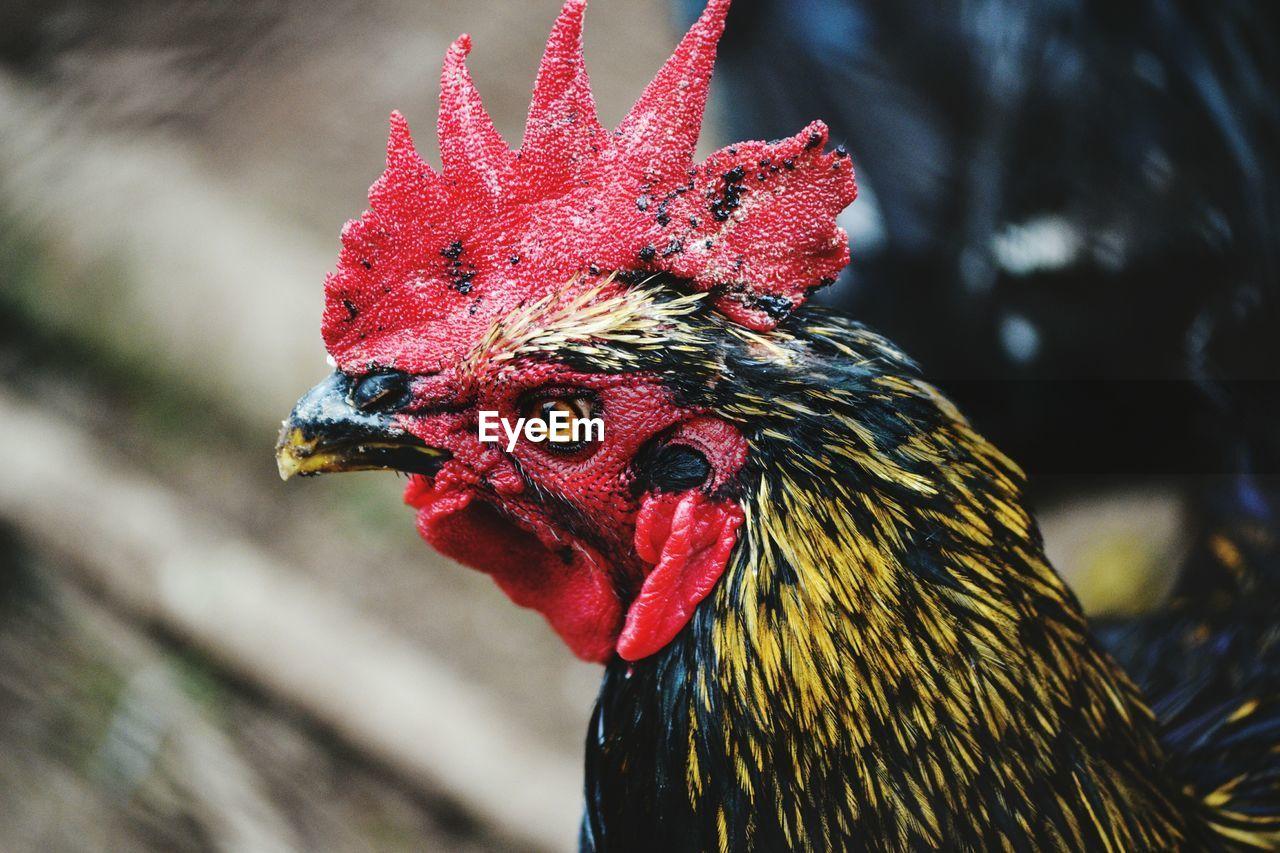 bird, animal themes, animal, chicken - bird, livestock, chicken, domestic animals, red, one animal, rooster, male animal, close-up, vertebrate, domestic, pets, focus on foreground, mammal, animal's crest, no people, day, animal head, beak, animal eye