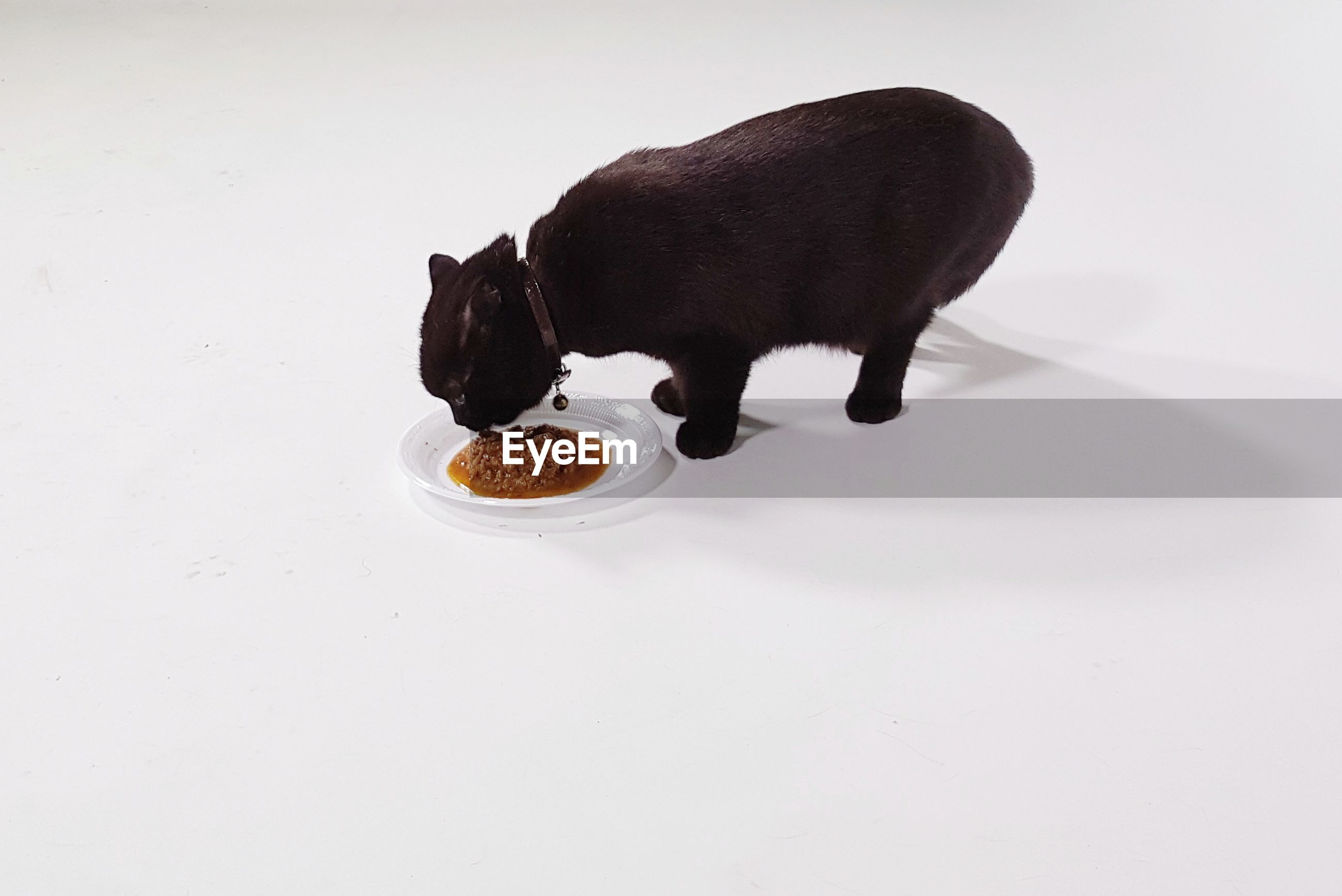 Black cat eating food over white background