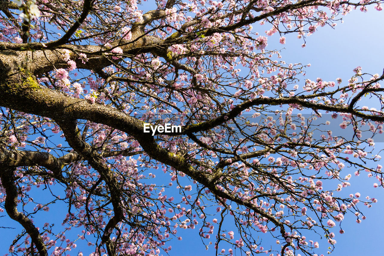 tree, low angle view, branch, plant, flower, flowering plant, sky, beauty in nature, growth, blossom, nature, day, pink color, springtime, no people, freshness, fragility, outdoors, cherry blossom, clear sky, cherry tree, spring, tree canopy
