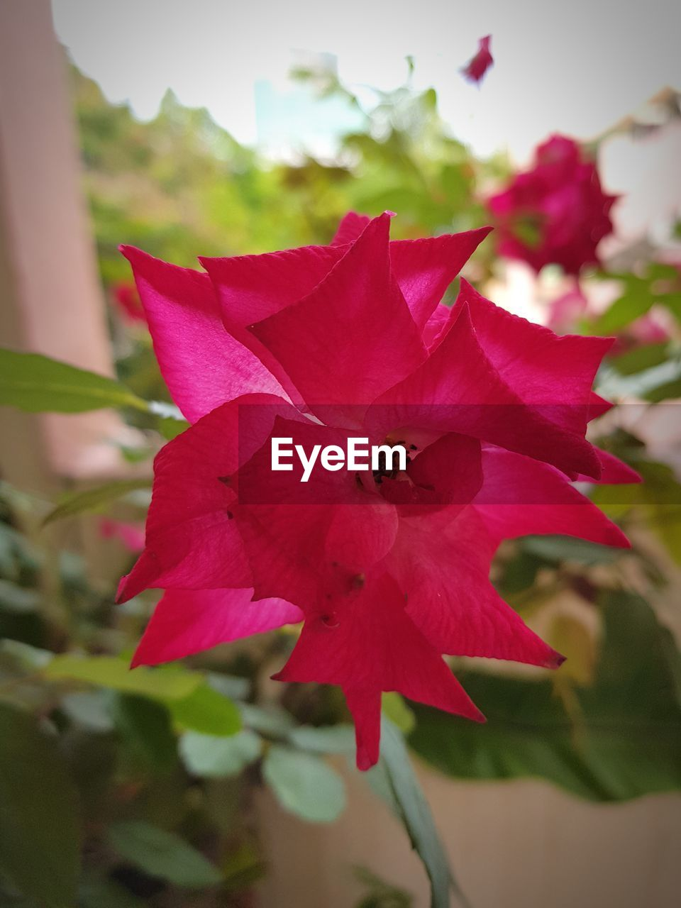 flower, petal, fragility, flower head, nature, beauty in nature, growth, freshness, close-up, pink color, red, no people, day, outdoors, plant, blooming, bougainvillea, hibiscus