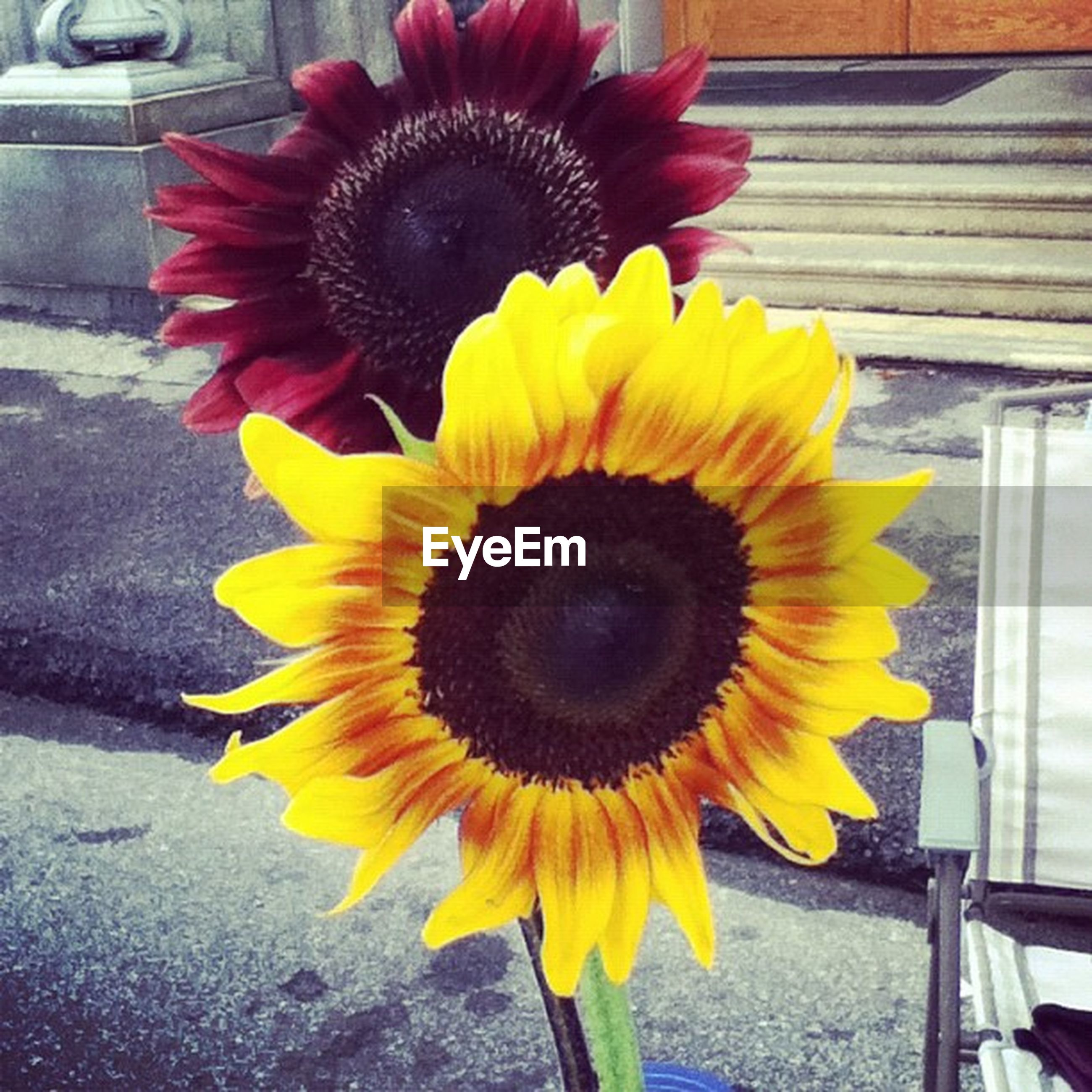flower, flower head, yellow, petal, fragility, freshness, close-up, blooming, single flower, beauty in nature, growth, pollen, nature, plant, sunflower, day, no people, outdoors, in bloom, high angle view