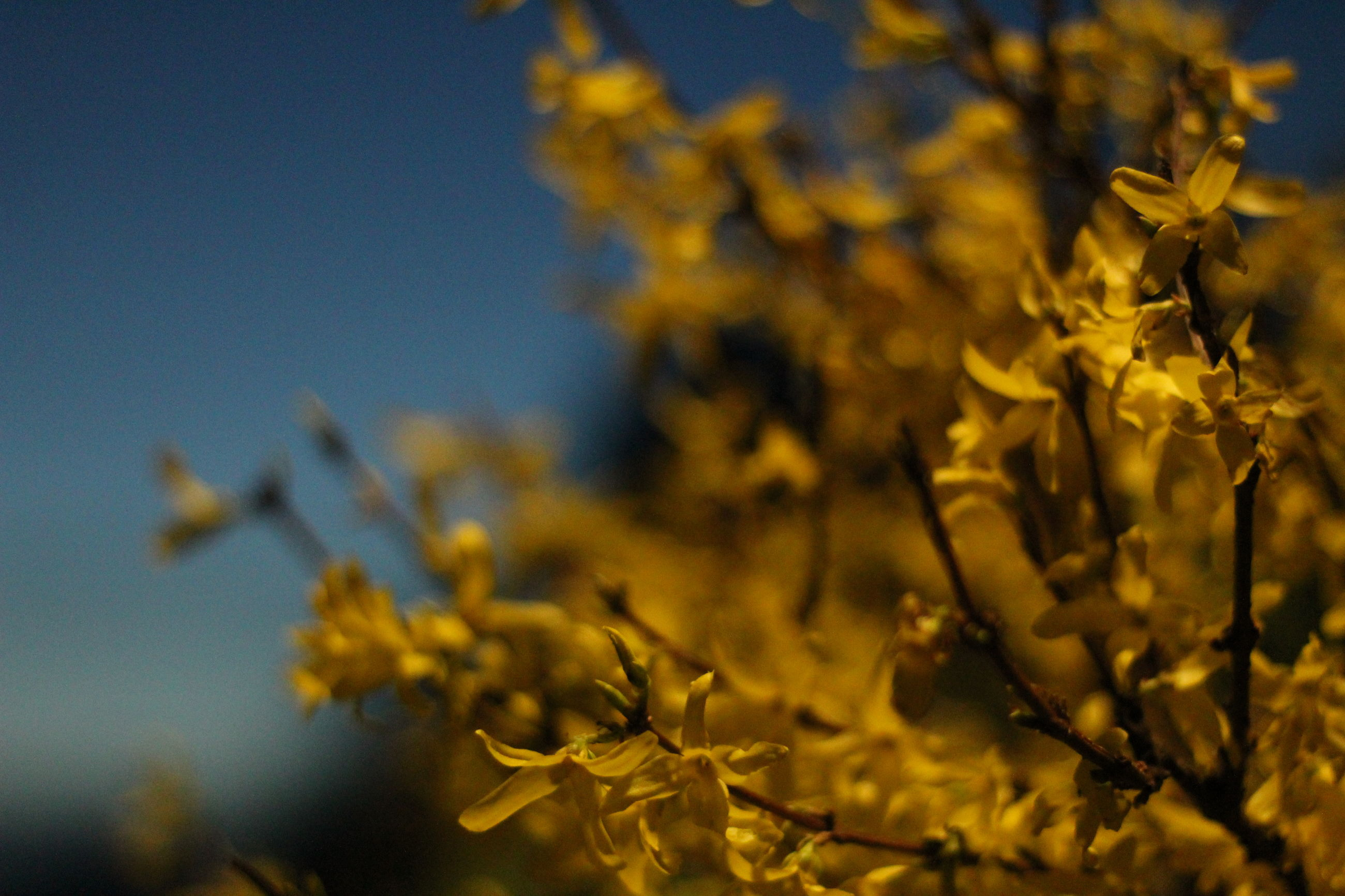 CLOSE-UP OF YELLOW FLOWERING PLANTS AGAINST CLEAR SKY