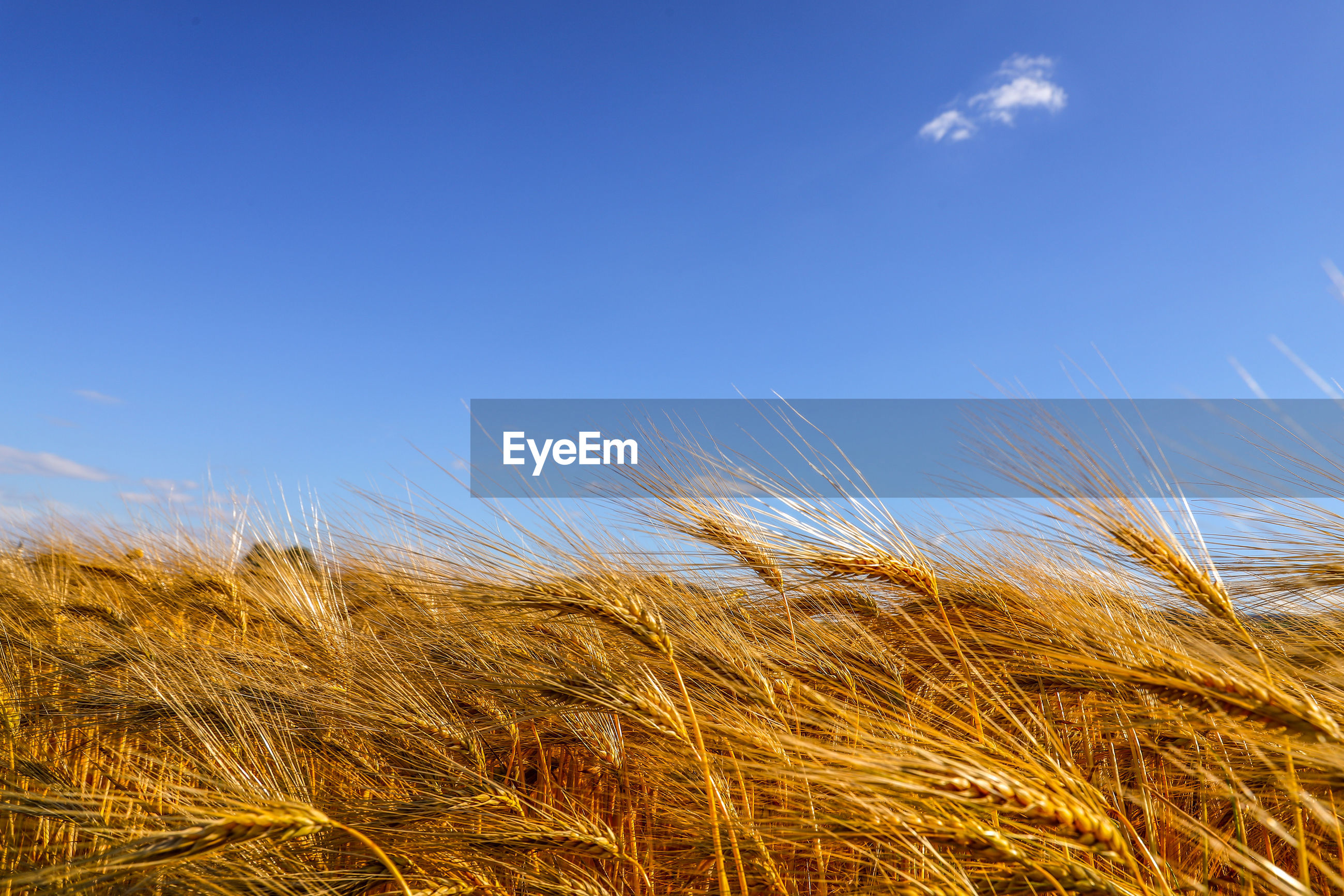 CLOSE-UP OF STALKS IN WHEAT FIELD AGAINST BLUE SKY