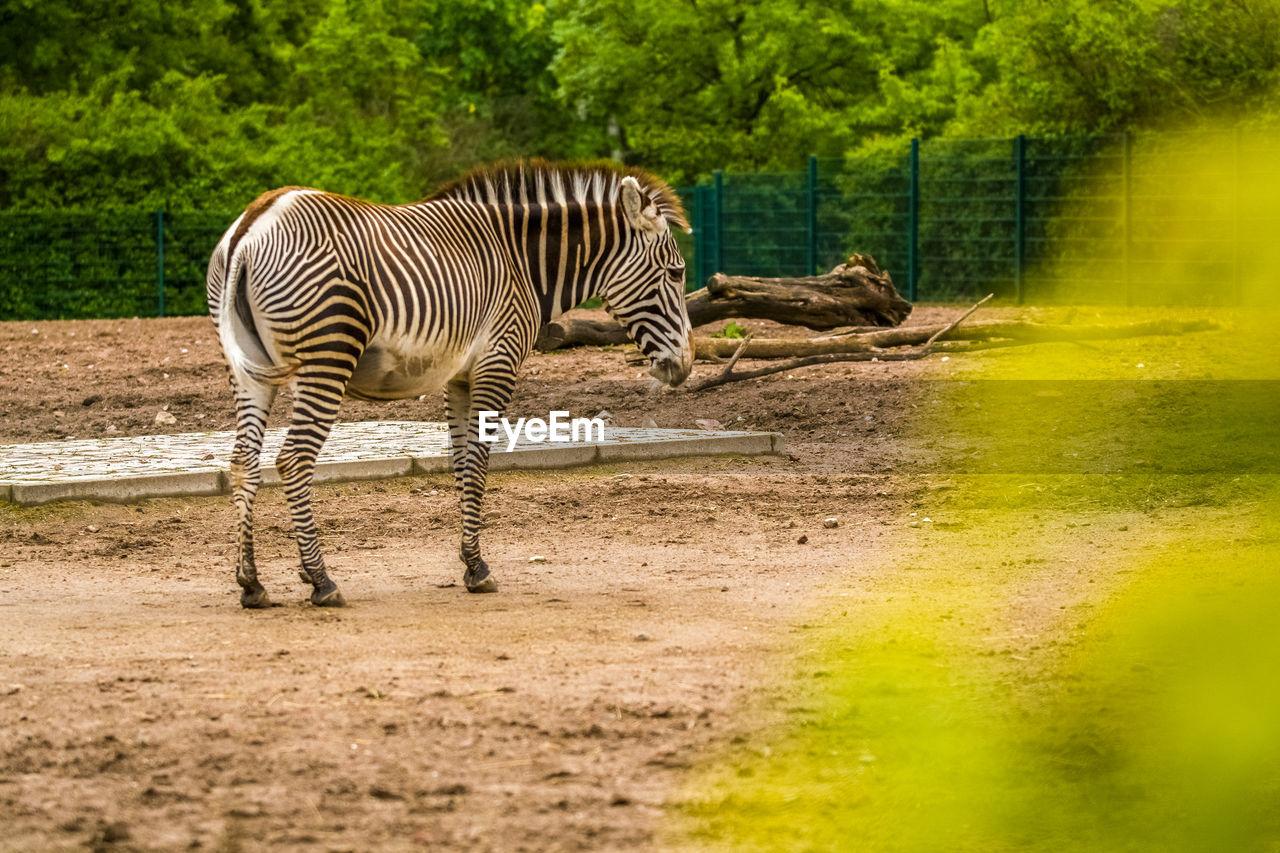 animals in the wild, animal themes, animal, animal wildlife, striped, mammal, zebra, one animal, vertebrate, nature, no people, tree, day, zoo, plant, safari, animals in captivity, outdoors, drinking, herbivorous