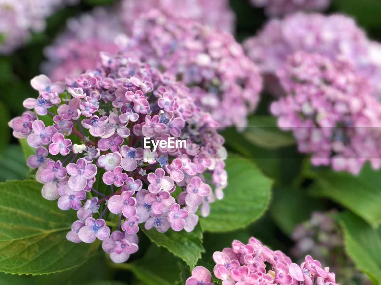 flowering plant, flower, beauty in nature, plant, freshness, vulnerability, pink color, fragility, growth, petal, close-up, nature, inflorescence, flower head, leaf, plant part, day, botany, lilac, no people, outdoors, bunch of flowers, lantana, purple
