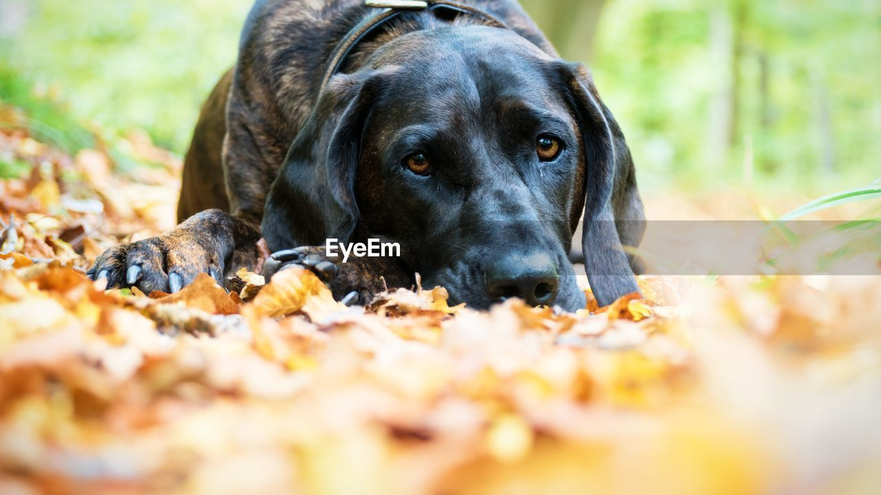 dog, pets, one animal, animal themes, mammal, domestic animals, selective focus, black color, day, no people, black labrador, outdoors, nature, close-up