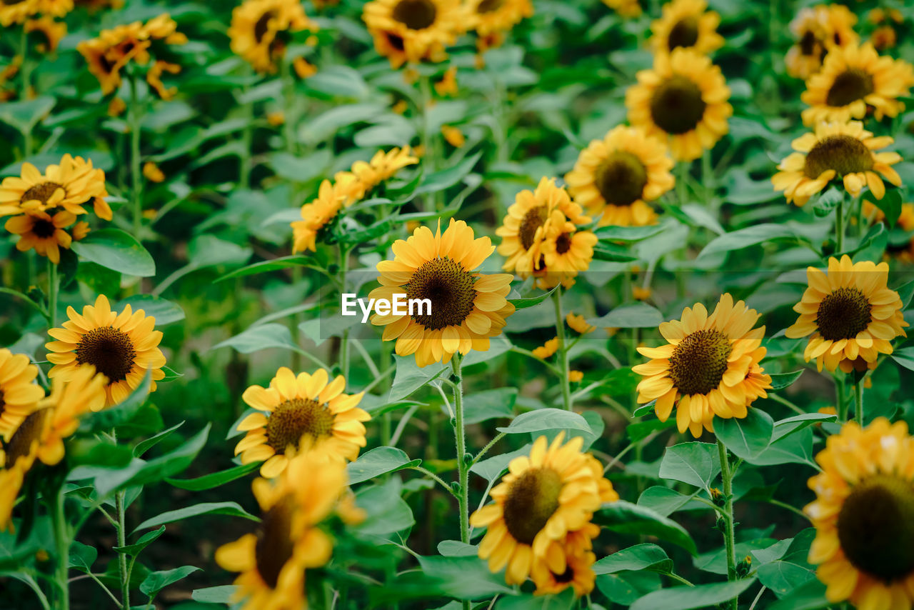 Close-up of beautiful yellow sunflower and sunflower fields