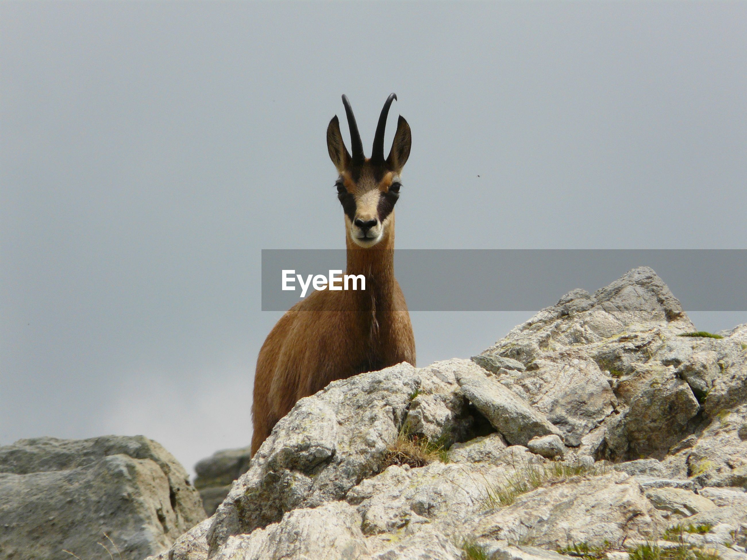 Portrait of chamois standing on rock against sky