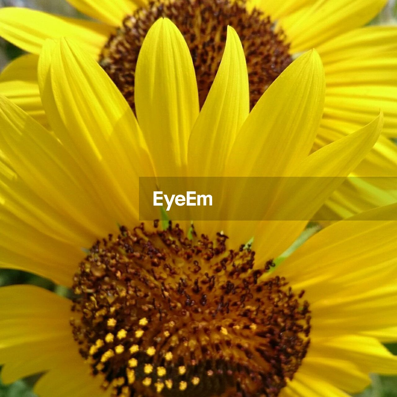 flower, petal, yellow, fragility, freshness, flower head, growth, nature, beauty in nature, pollen, plant, blooming, day, close-up, springtime, sunflower, no people, outdoors, stamen, backgrounds, gazania, full frame
