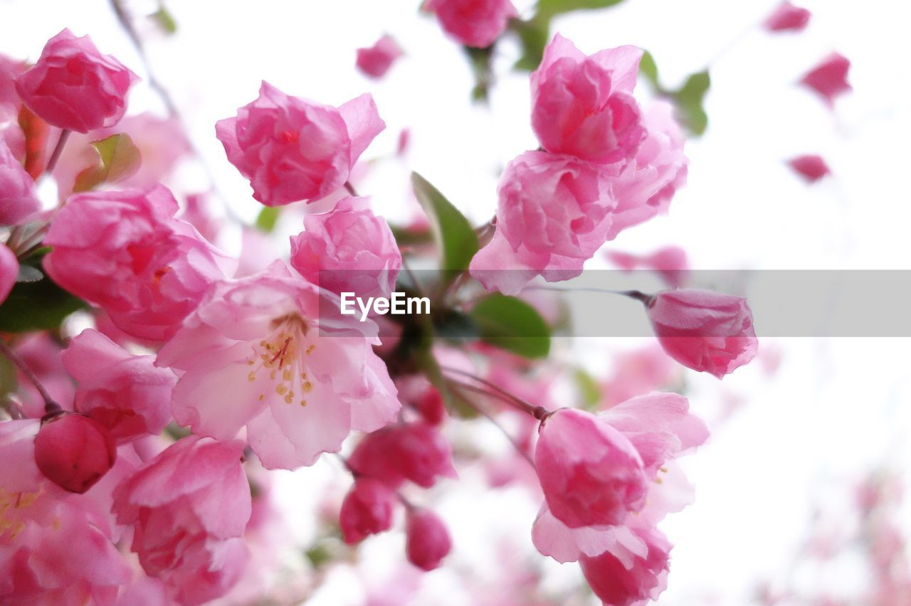 flower, pink color, fragility, beauty in nature, petal, freshness, growth, blossom, springtime, nature, tree, branch, no people, close-up, twig, day, flower head, outdoors