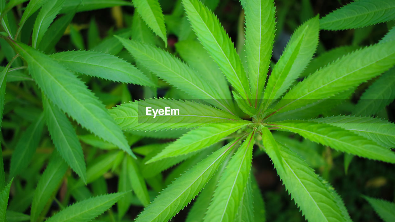 green color, leaf, plant part, growth, plant, close-up, marijuana - herbal cannabis, nature, healthcare and medicine, beauty in nature, herb, alternative medicine, cannabis plant, medicine, no people, day, narcotic, freshness, full frame, high angle view, outdoors
