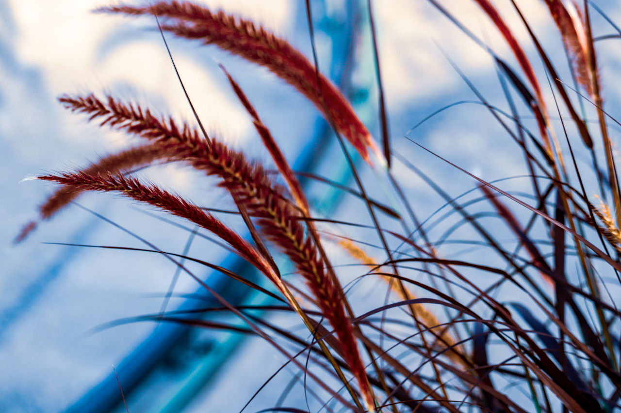 plant, selective focus, sky, growth, no people, nature, low angle view, close-up, beauty in nature, day, tranquility, grass, blue, focus on foreground, cloud - sky, outdoors, brown, multi colored, tree, wind, stalk, blade of grass