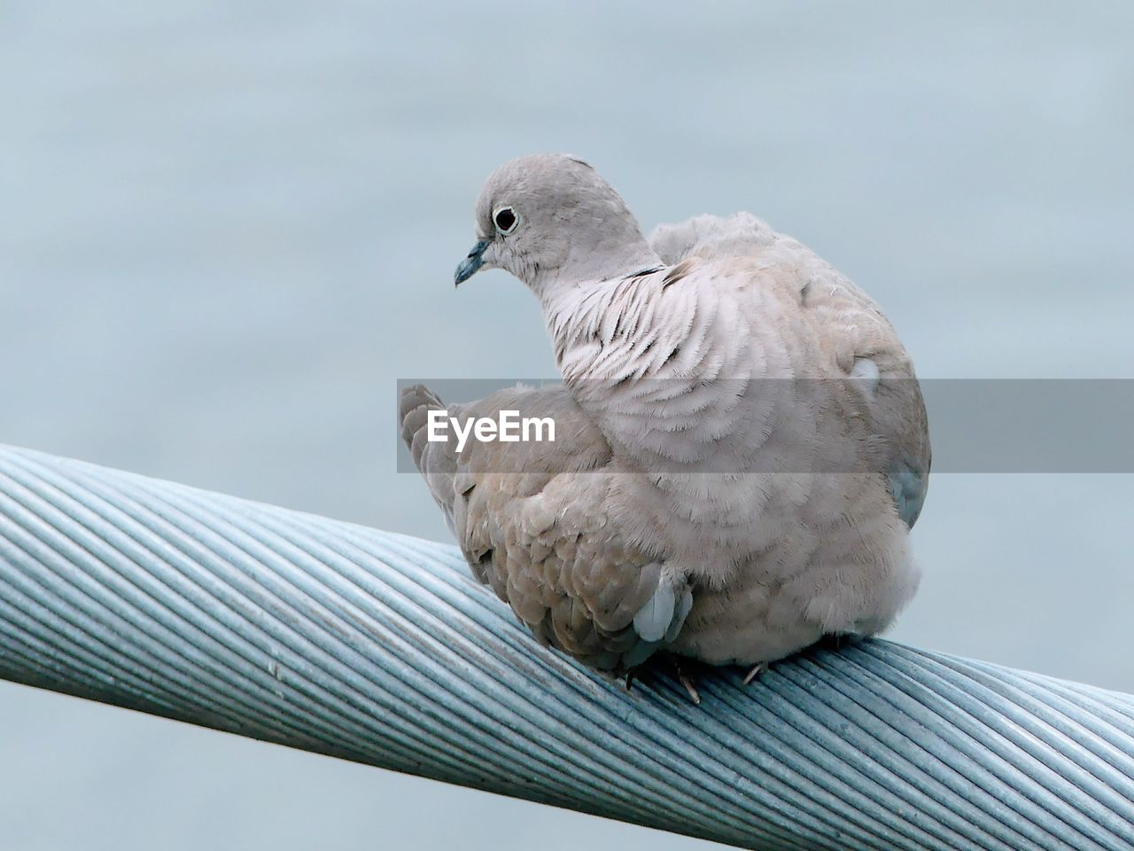 bird, animal themes, animal, animals in the wild, animal wildlife, vertebrate, one animal, focus on foreground, perching, no people, day, close-up, mourning dove, nature, dove - bird, outdoors, gray, metal, pigeon, low angle view