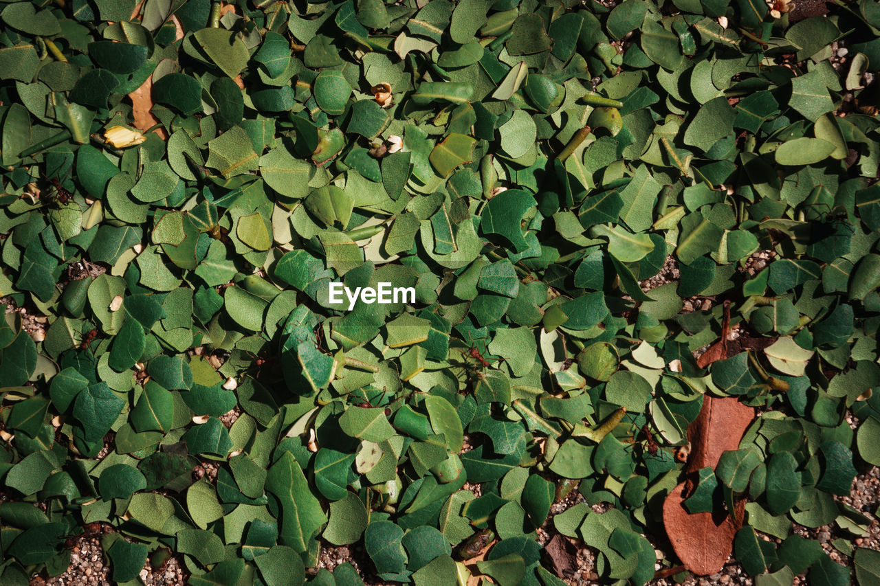 green color, plant part, leaf, full frame, growth, nature, plant, backgrounds, no people, day, beauty in nature, outdoors, close-up, abundance, ivy, land, tranquility, creeper plant, field, tree, clover, leaves