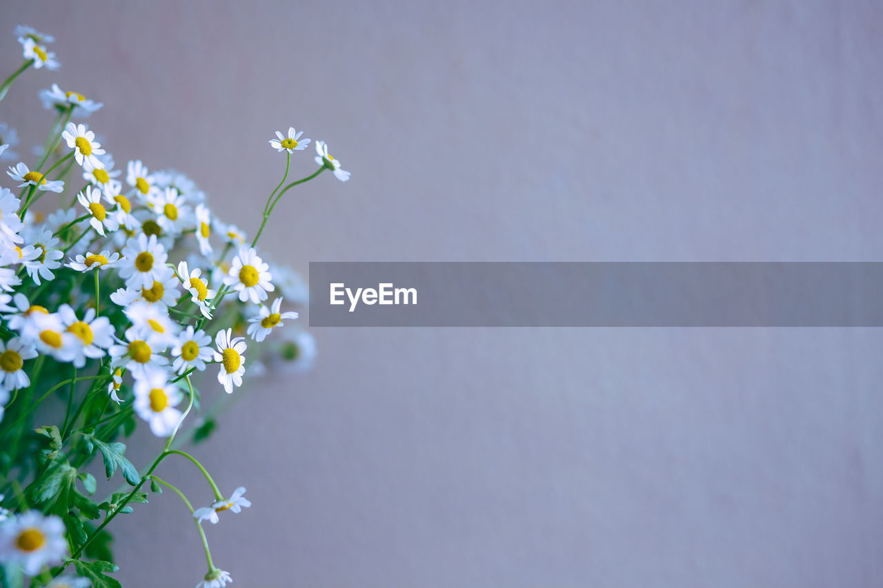 Close-up of fresh chamomile flowers against wall