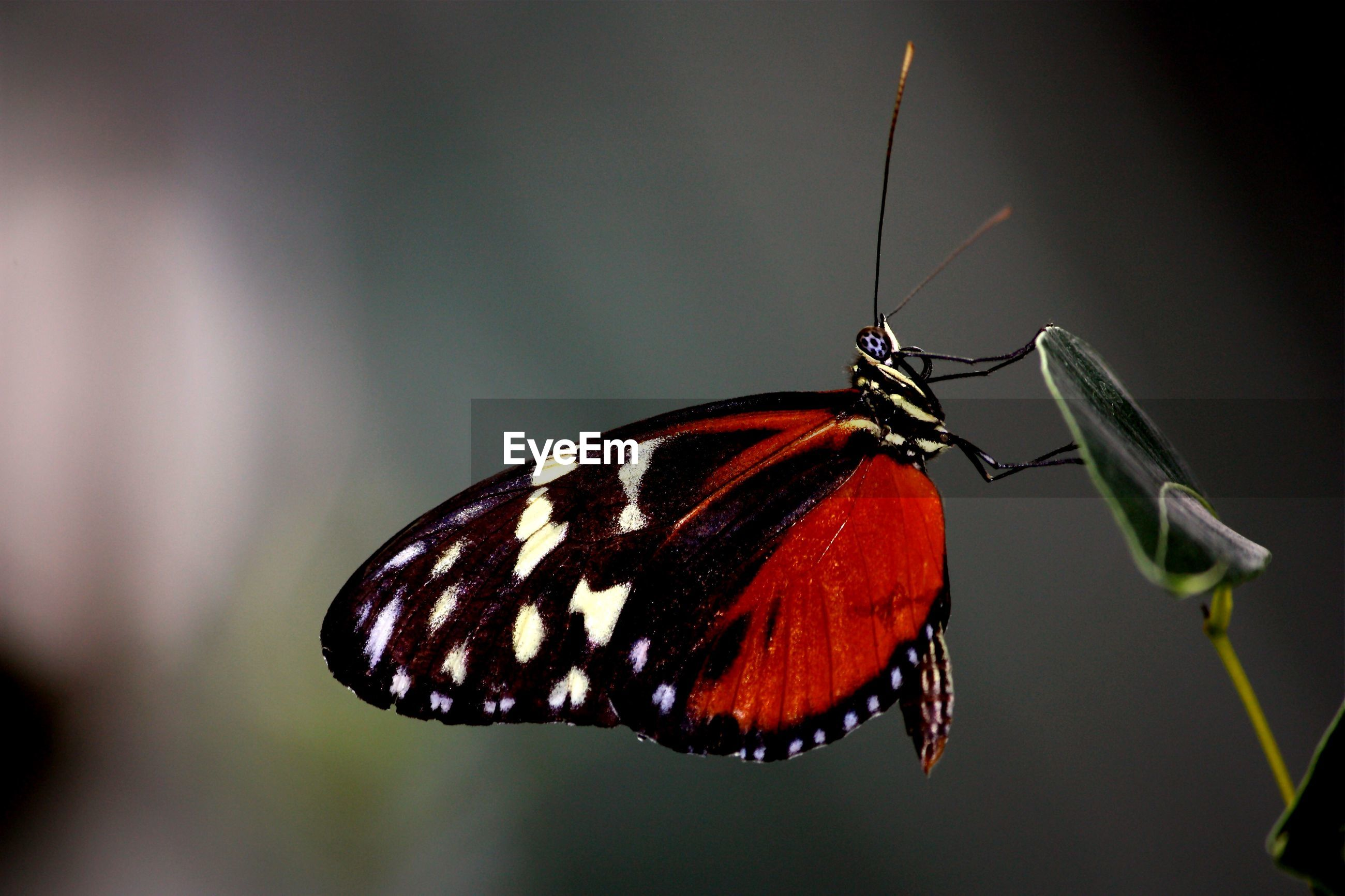 Close-up of red butterfly on leaf