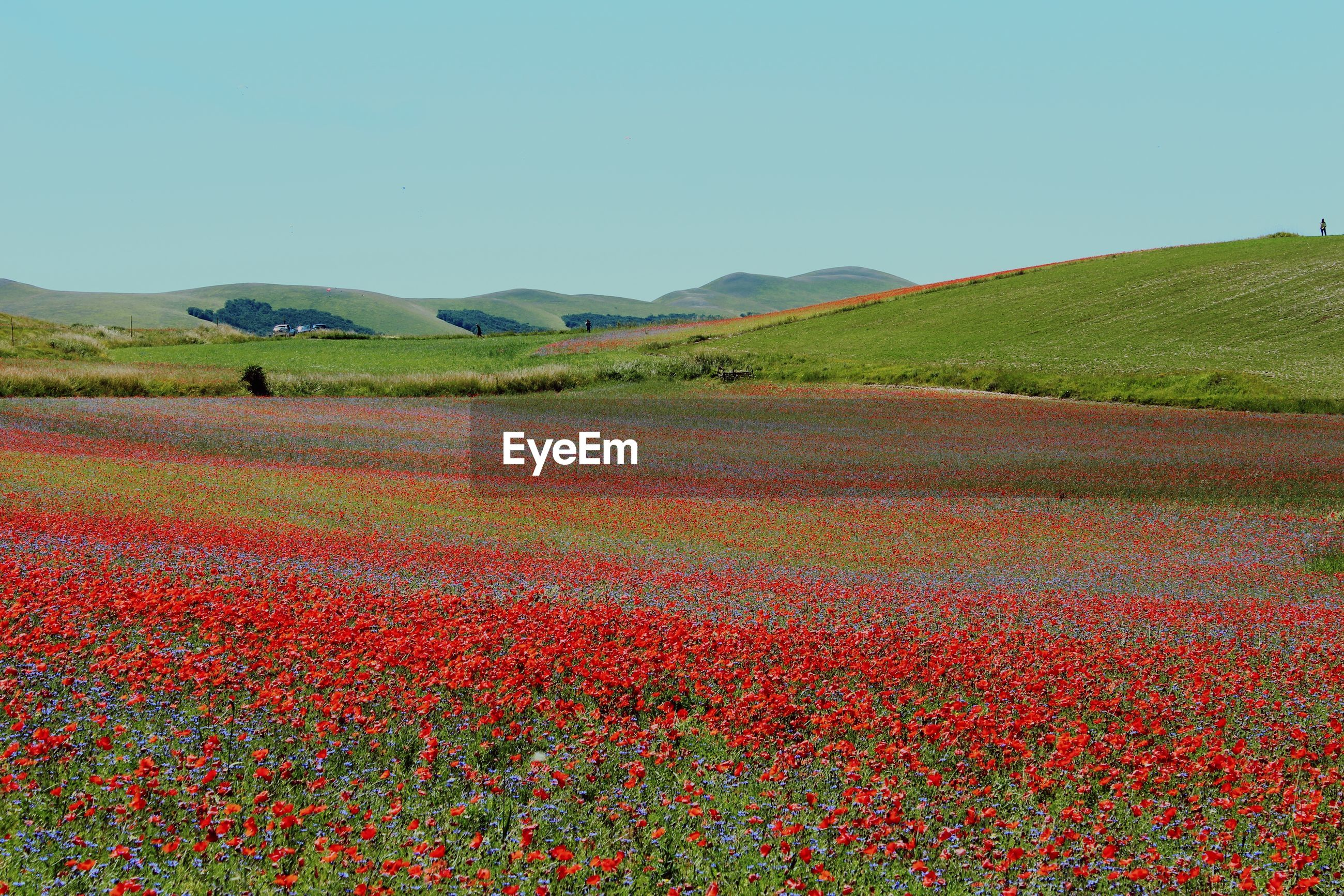 Scenic view of landscape against clear blue sky poppies flowers castelluccio