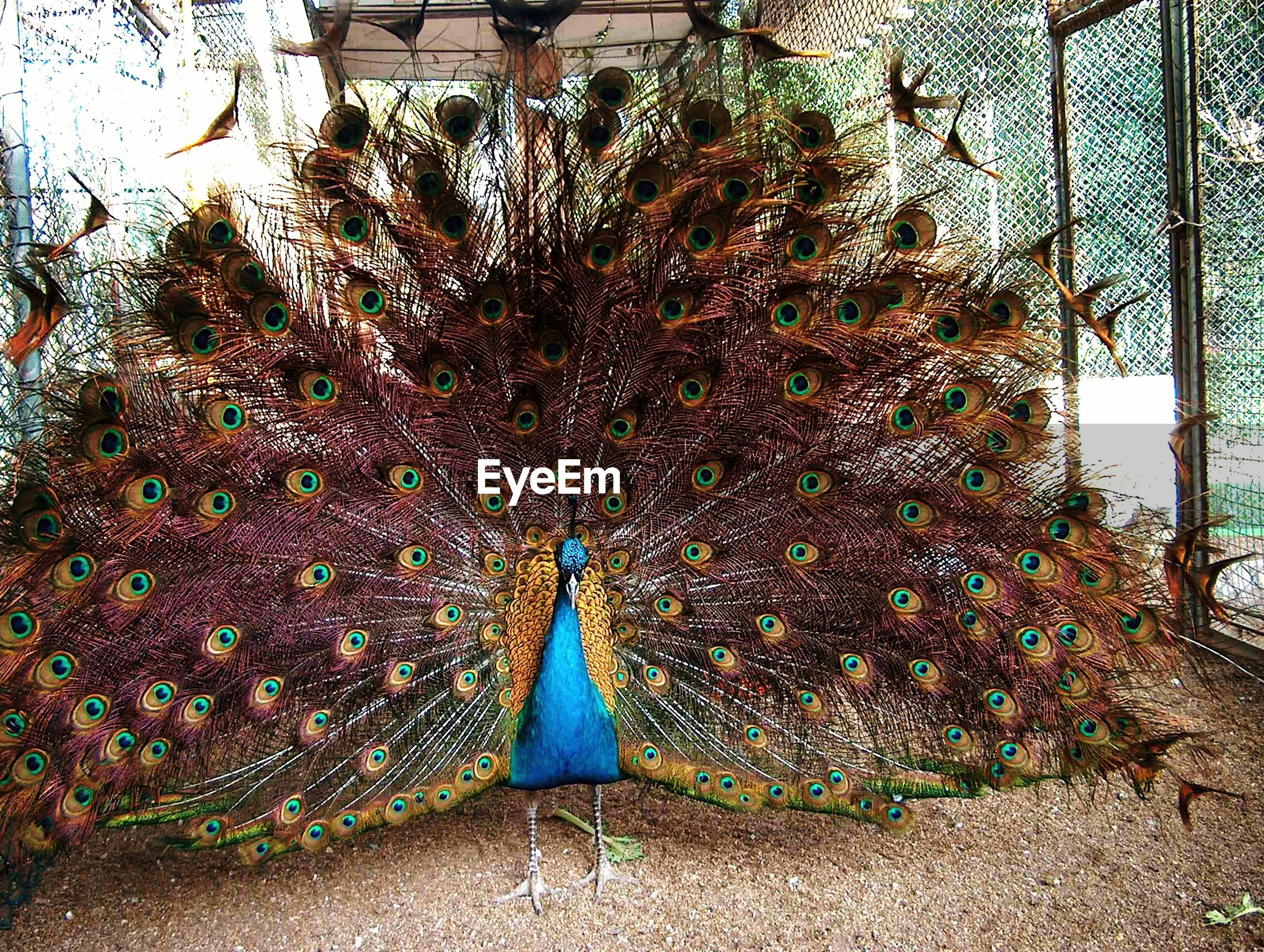 Peacock standing in cage