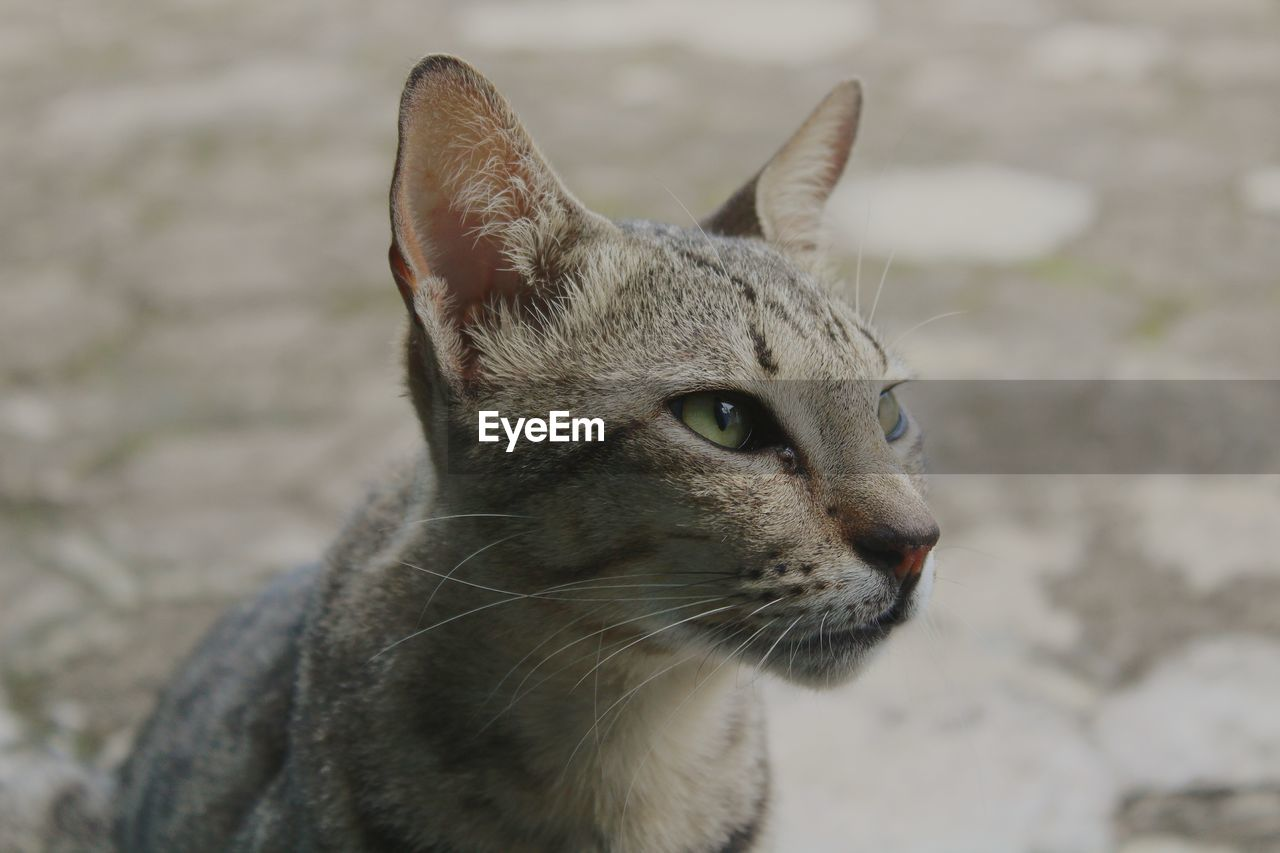 one animal, animal, animal themes, mammal, domestic animals, pets, cat, domestic, feline, vertebrate, domestic cat, looking, focus on foreground, looking away, close-up, whisker, no people, animal body part, day, animal head, animal eye