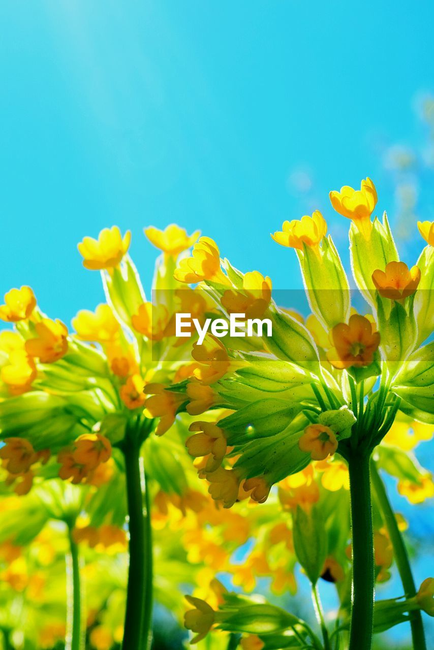 flower, yellow, nature, fragility, growth, plant, beauty in nature, freshness, green color, petal, blue, springtime, no people, day, outdoors, close-up, leaf, flower head, clear sky, sky