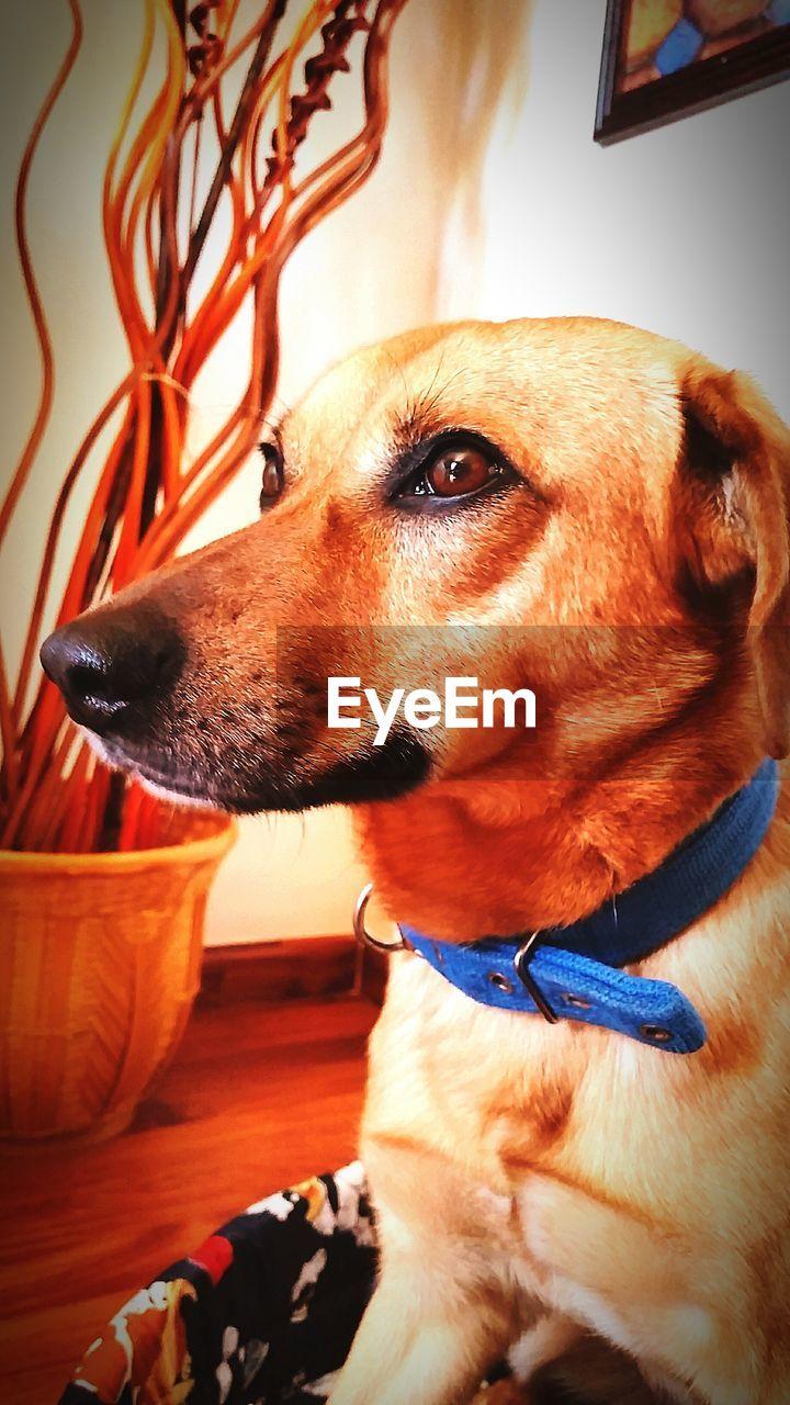dog, pets, domestic animals, one animal, animal themes, mammal, home interior, indoors, pet collar, no people, close-up, day, beagle