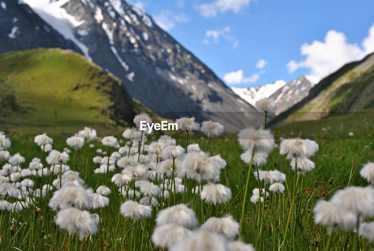WHITE FLOWERING PLANTS ON FIELD AGAINST MOUNTAIN