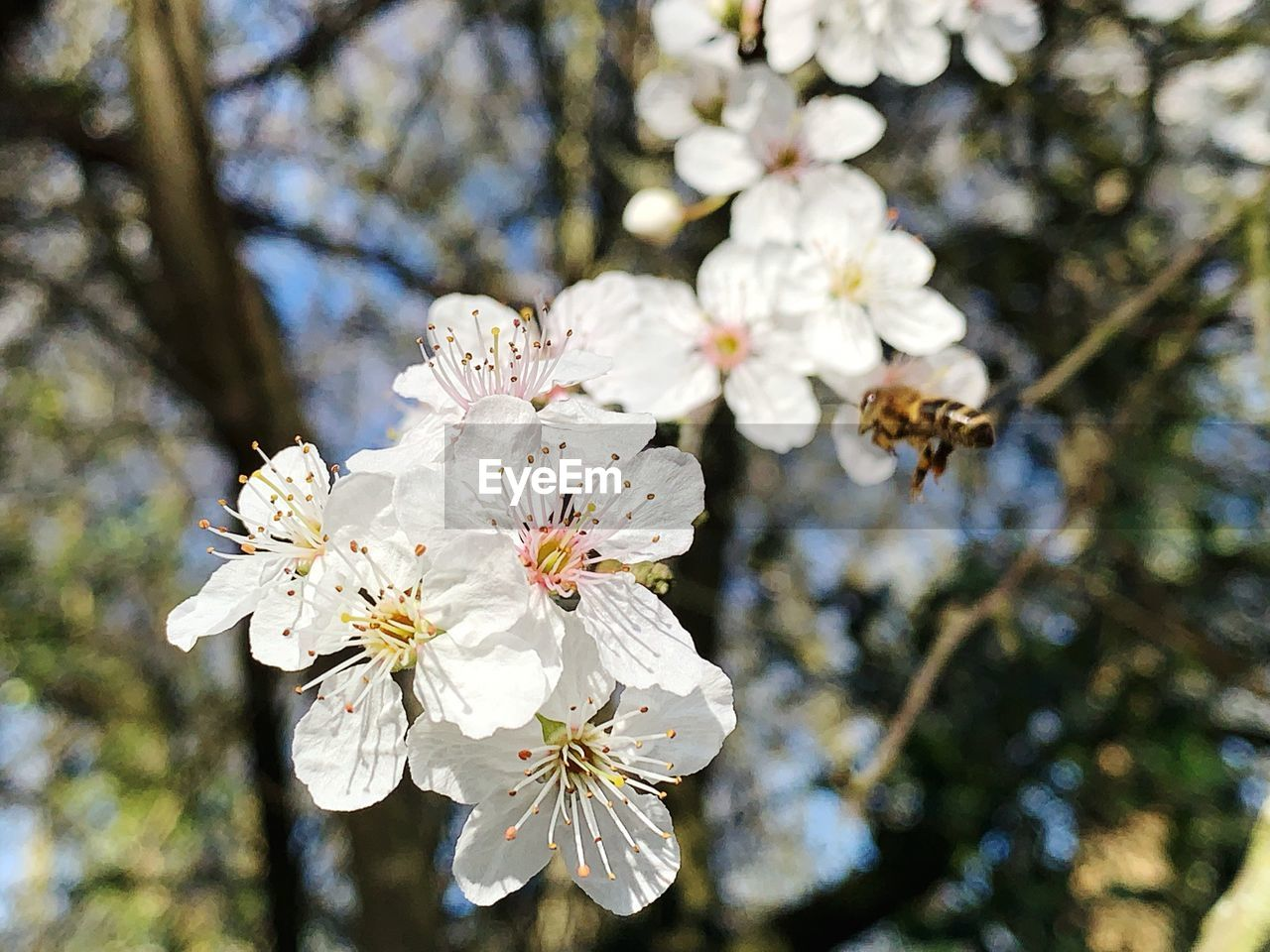 flower, flowering plant, plant, fragility, growth, freshness, white color, tree, beauty in nature, vulnerability, blossom, focus on foreground, branch, nature, springtime, day, cherry blossom, pollen, close-up, twig, flower head, no people, cherry tree, outdoors, spring