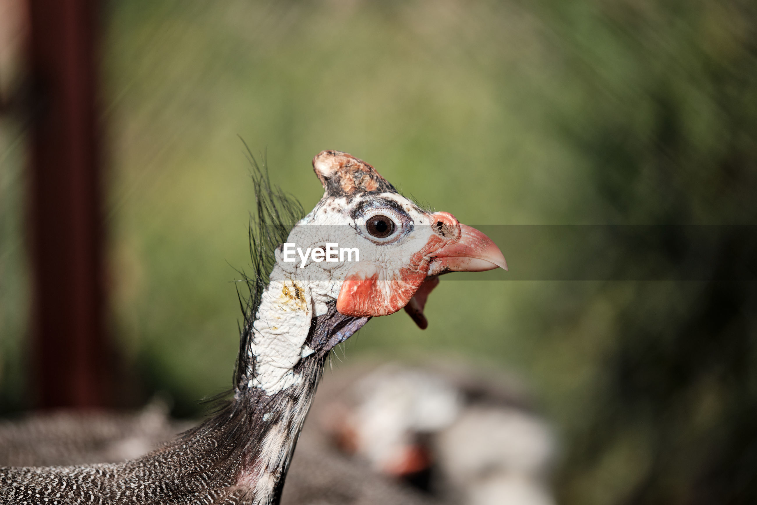 Featherless turkey chick on the depth background