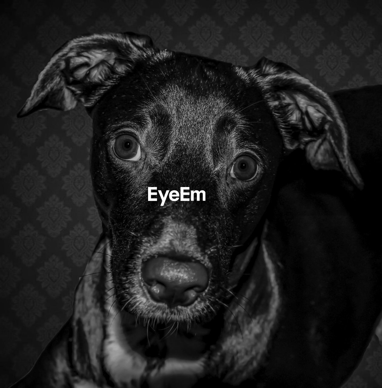 dog, one animal, canine, mammal, pets, domestic, domestic animals, portrait, looking at camera, indoors, vertebrate, close-up, animal body part, no people, home interior, focus on foreground, animal eye