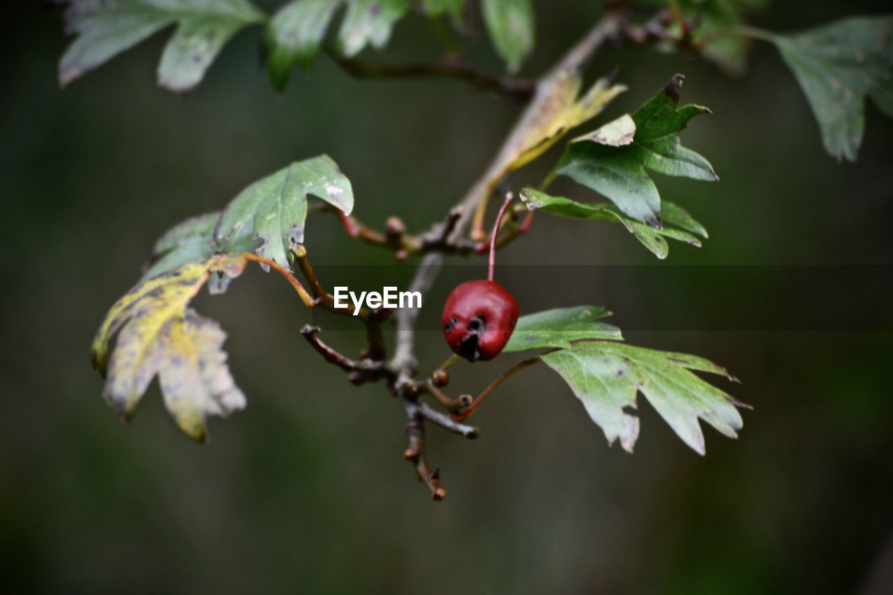 fruit, focus on foreground, food and drink, red, rose hip, growth, close-up, nature, tree, food, day, outdoors, green color, no people, leaf, plant, freshness, beauty in nature, healthy eating