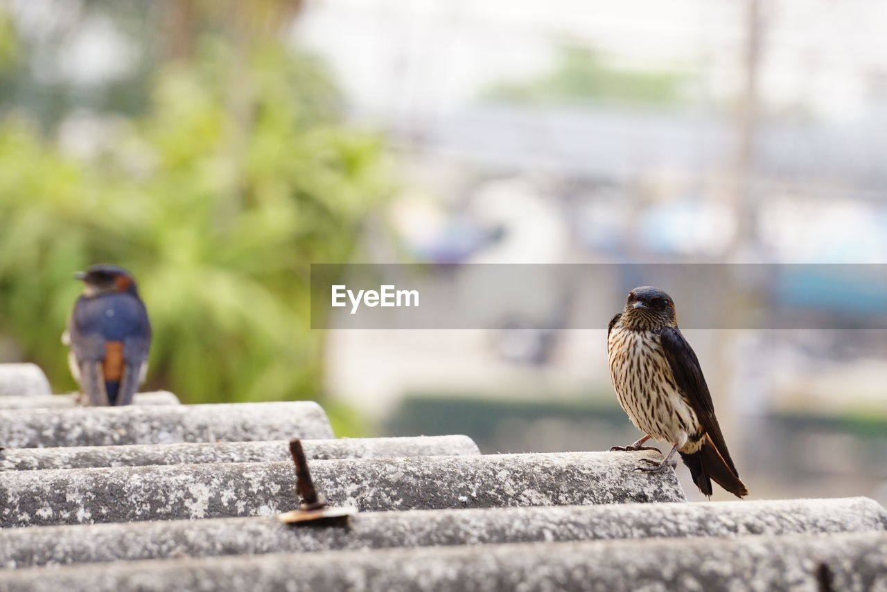 animal themes, animal, animal wildlife, vertebrate, animals in the wild, bird, day, perching, one animal, focus on foreground, selective focus, full length, outdoors, retaining wall, wall, sparrow, nature, no people, solid, concrete