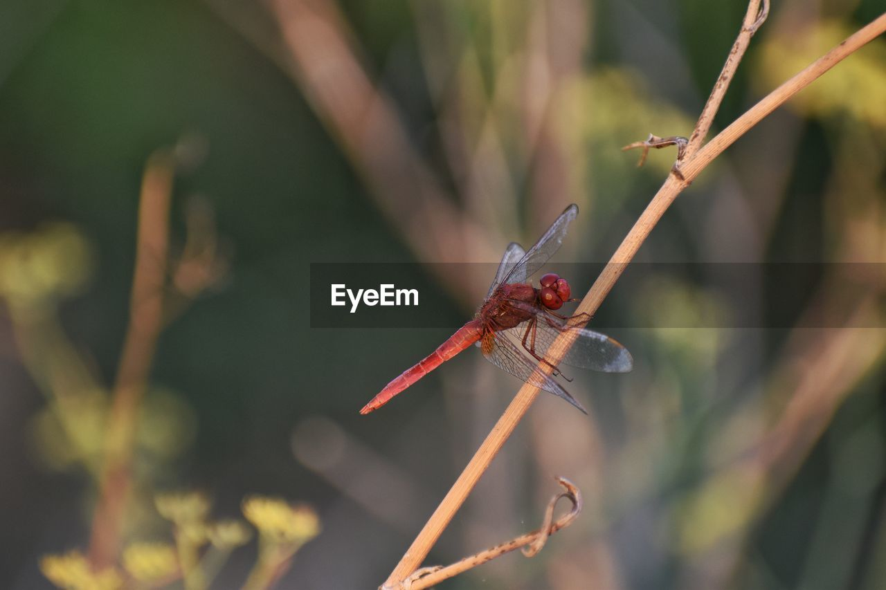plant, focus on foreground, animals in the wild, animal, animal themes, animal wildlife, invertebrate, close-up, insect, one animal, red, nature, day, no people, dragonfly, plant stem, growth, animal wing, beauty in nature, twig, outdoors
