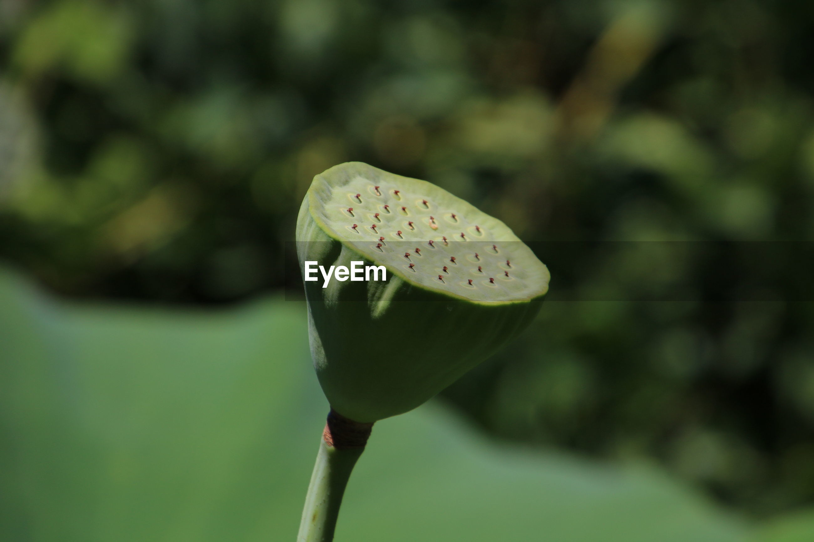 CLOSE-UP OF LOTUS WATER LILY IN GARDEN