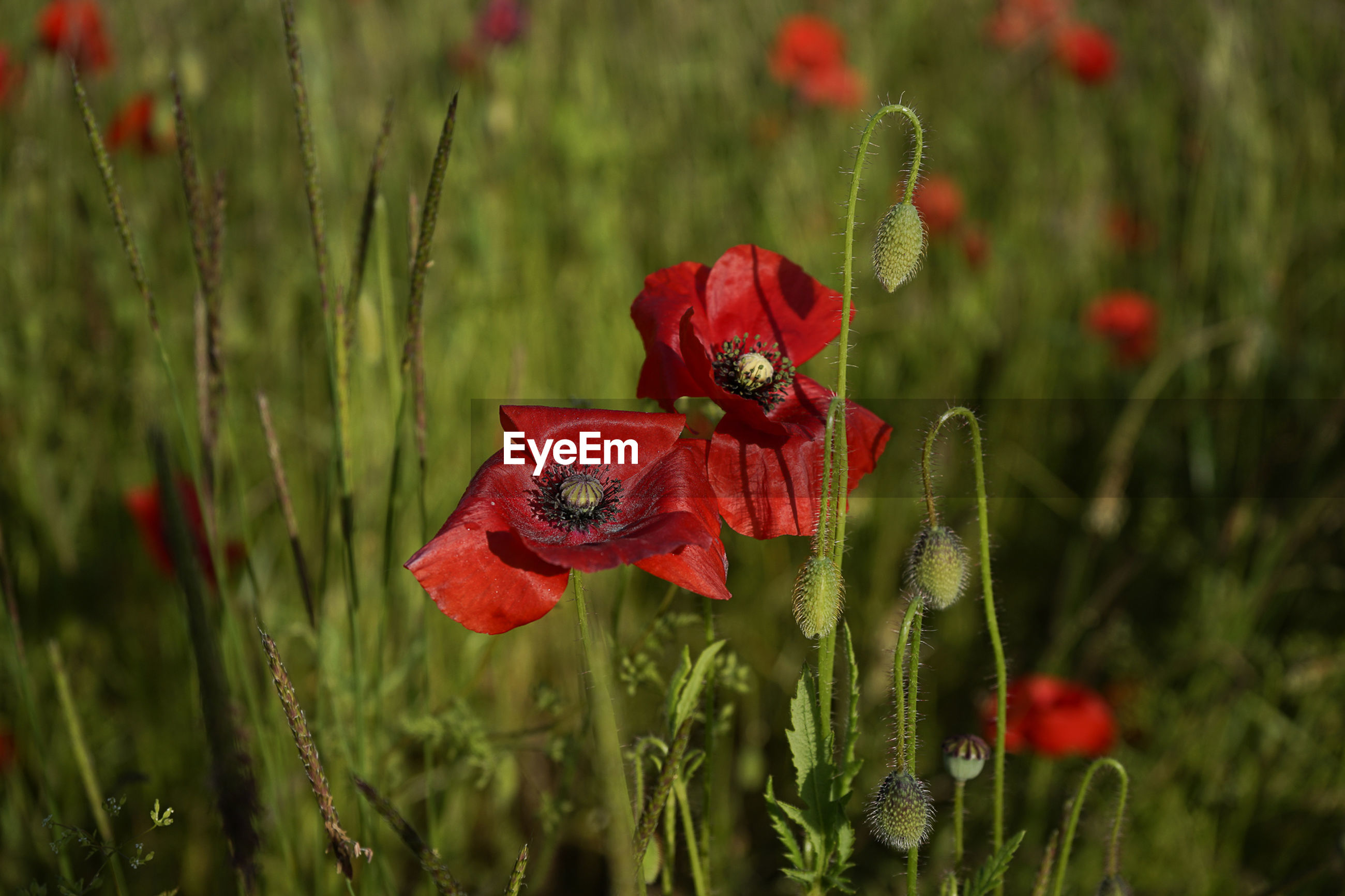 CLOSE-UP OF RED POPPY FLOWER BLOOMING OUTDOORS