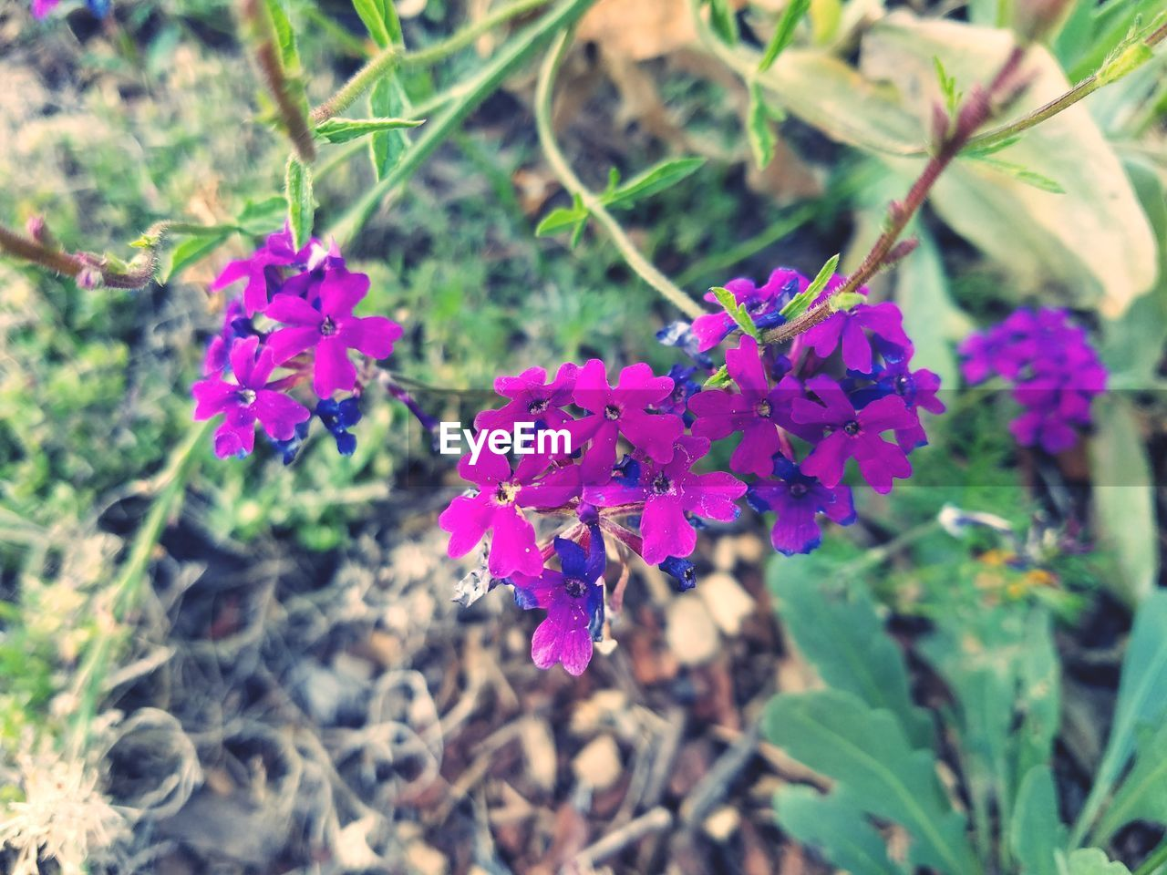 flower, flowering plant, plant, beauty in nature, freshness, growth, fragility, vulnerability, close-up, petal, focus on foreground, day, nature, no people, pink color, flower head, inflorescence, leaf, selective focus, plant part, purple, outdoors