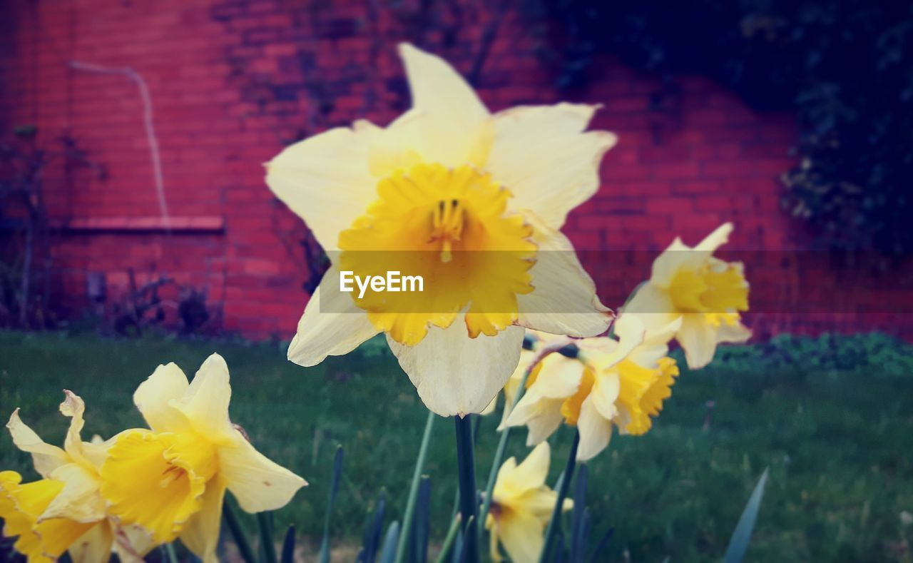 flower, yellow, petal, fragility, flower head, freshness, daffodil, nature, growth, beauty in nature, blooming, outdoors, close-up, plant, focus on foreground, no people, day
