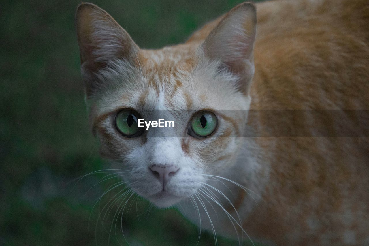 Close-up portrait of cat with green eyes