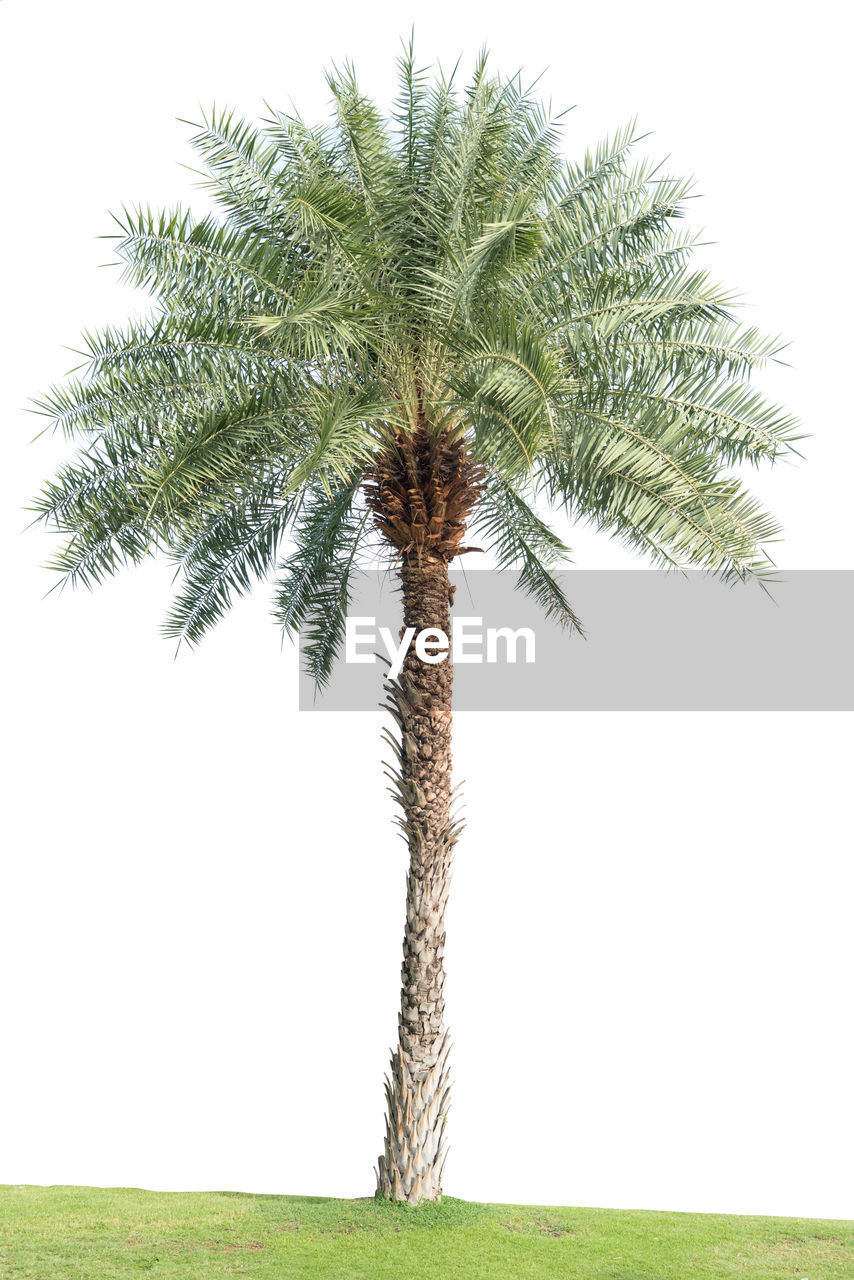 plant, tree, growth, nature, tree trunk, green color, trunk, palm tree, beauty in nature, field, grass, sky, land, tropical climate, day, no people, outdoors, single tree, tranquility, environment, palm leaf