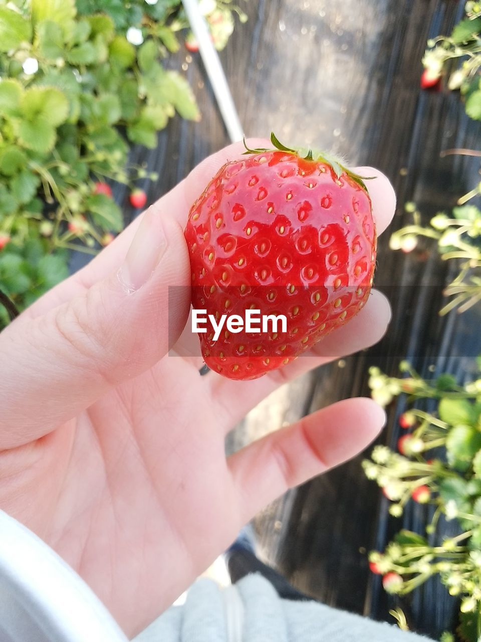 human hand, strawberry, human body part, fruit, one person, real people, food and drink, freshness, food, healthy eating, human finger, red, holding, outdoors, day, focus on foreground, close-up, lifestyles, sunlight, sweet food, healthy lifestyle, women, nature, ready-to-eat, people