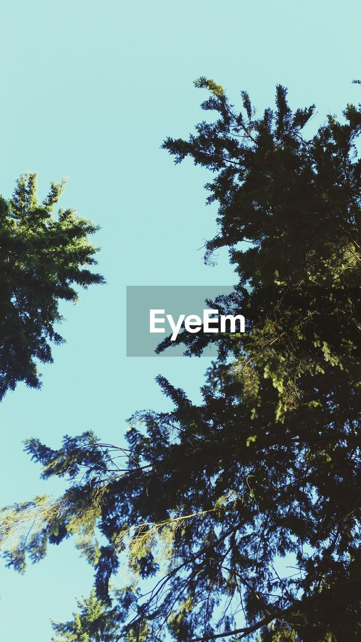 tree, nature, low angle view, growth, beauty in nature, forest, clear sky, no people, day, blue sky, outdoors, sky