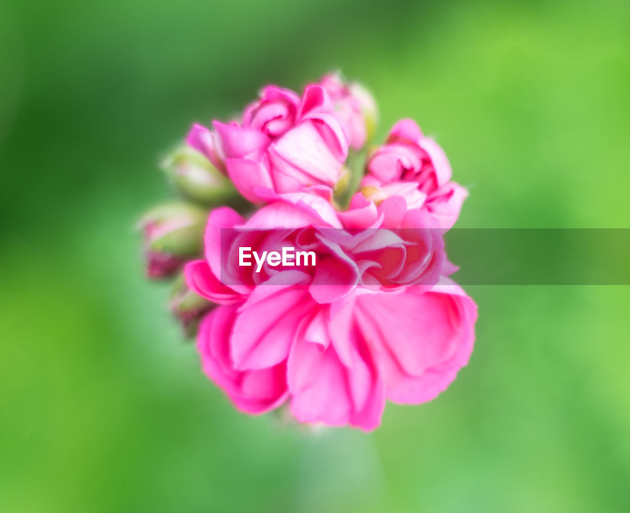 beauty in nature, pink color, flowering plant, flower, freshness, close-up, inflorescence, flower head, plant, fragility, vulnerability, petal, no people, nature, focus on foreground, growth, day, selective focus, outdoors, green color